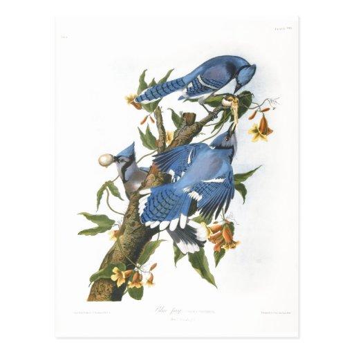 Blue Jay, John James Audubon Post Card