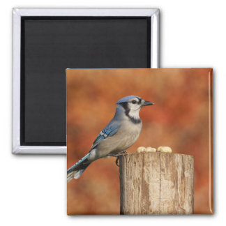 Blue Jay 2 Inch Square Magnet