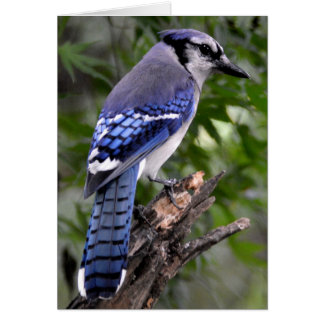 Blue Jay Note Card