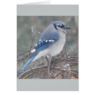 Blue Jay on tree branch Card