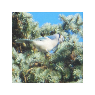 Blue Jay Perched in Colorado Blue Spruce Gallery Wrap Canvas