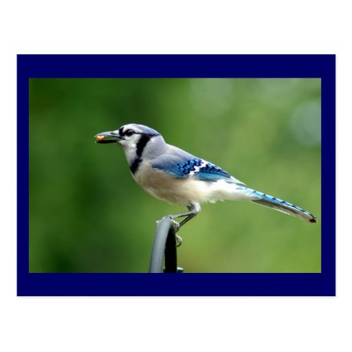 Blue Jay Post Cards