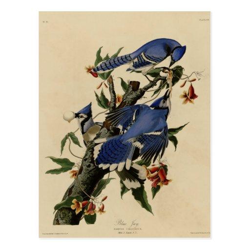 Blue Jay Postcards