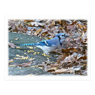 Blue Jay Songbird Series Postcard