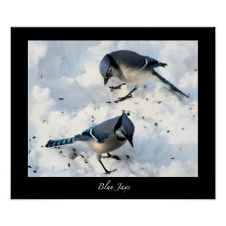 Blue Jays in Snow Poster