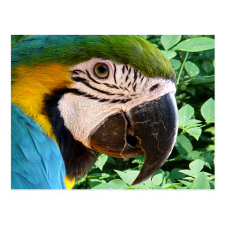 Blue Macaw Parrot Postcard 2