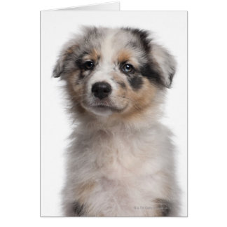 Blue Merle Australian Shepherd puppy close-up Card
