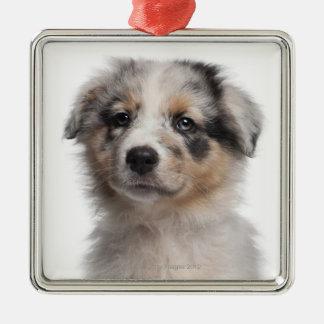 Blue Merle Australian Shepherd puppy close-up Christmas Ornament