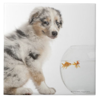 Blue Merle Australian Shepherd puppy looking Tile