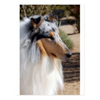 Blue Merle Collie Portrait Postcard