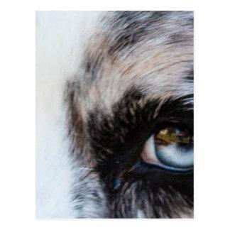 Blue Merle Dog Postcard