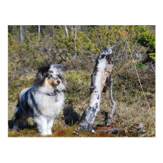 Blue Merle Shetland Sheepdog died Postcard