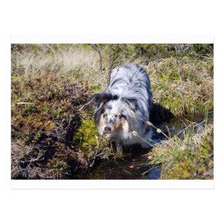 Blue Merle Shetland Sheepdog Postcard