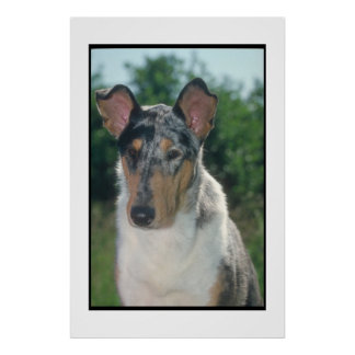 Blue Merle Smooth Collie Poster