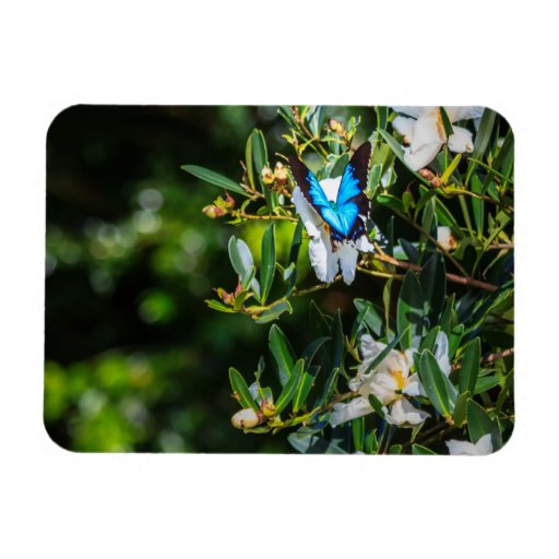 Blue Monarch Butterfly on Flowers Magnets