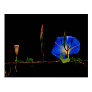 blue morning glory postcard