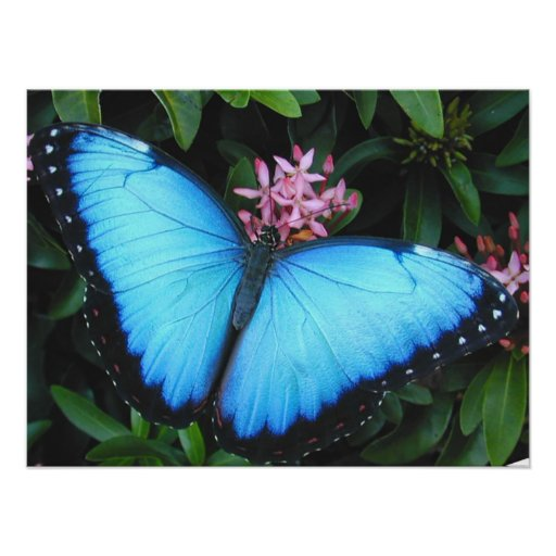 Blue Morpho Butterfly Print