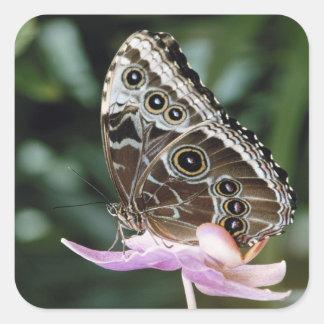 Blue Morpho Butterfly Square Sticker