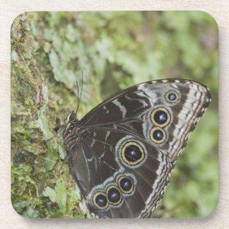 Blue Morpho, Morpho menelaus, adult newly 2 Coaster