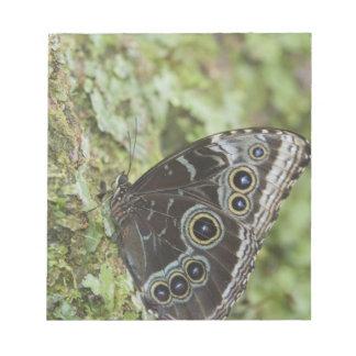 Blue Morpho, Morpho menelaus, adult newly 2 Notepad