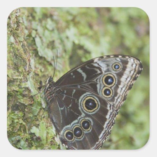 Blue Morpho, Morpho menelaus, adult newly 2 Square Sticker