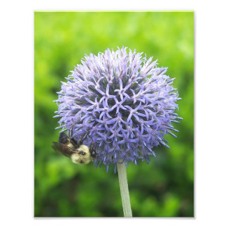 Blue Ornamental Onion and Honey Bee Photographic Print