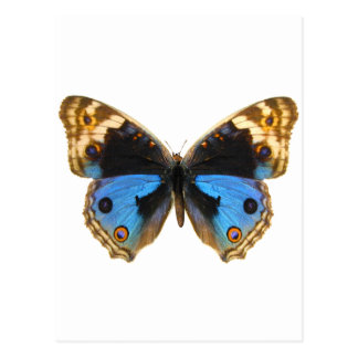 Blue Pansy Butterfly Postcard