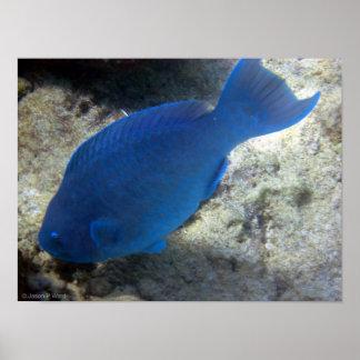 Blue Parrot Fish Poster