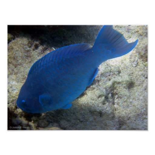 Blue Parrot Fish Poster