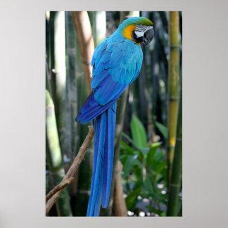 Blue Parrot photo Poster
