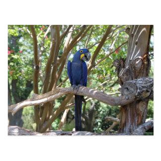 Blue Parrot postcard