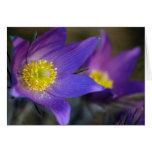 Blue pasque-flower cards
