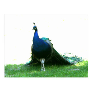 Blue peacock just grass clear sky postcard