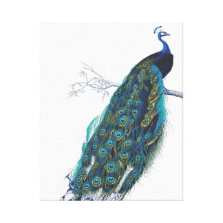 Blue Peacock with beautiful tail feathers Canvas Print