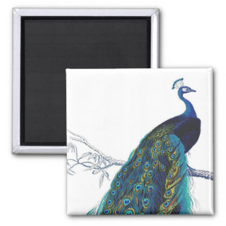 Blue Peacock with beautiful tail feathers Magnet