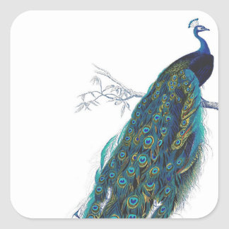 Blue Peacock with beautiful tail feathers Square Stickers