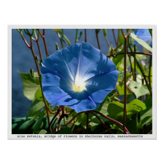 Blue Petunia on the Bridge of Flowers, Mass. Poster