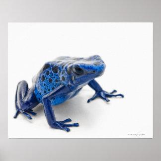 Blue Poison Dart Frog (Dendrobates Tinctorius) Poster