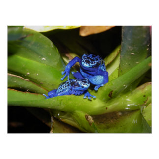 Blue Poison Dart Frogs In Leaf 1 Print