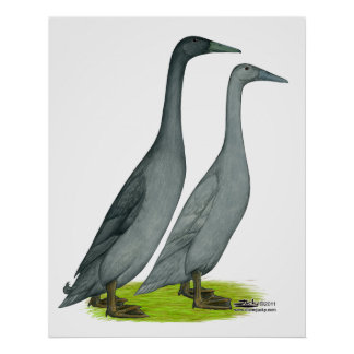 Blue Runner Ducks Poster