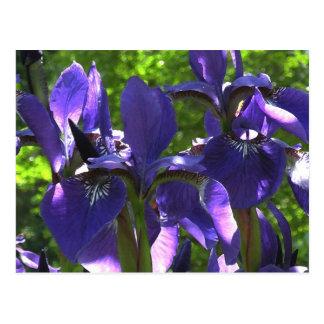 Blue Spring Iris Floral Postcard