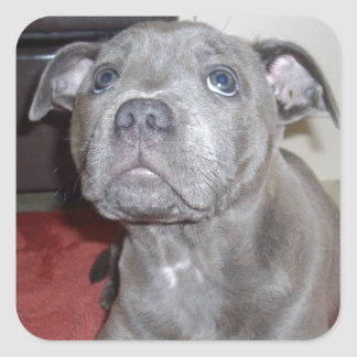Blue Staffordshire Bull Terrier Puppy, Square Sticker