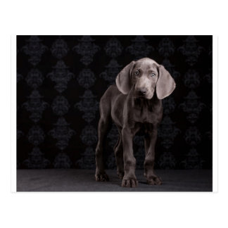 Blue the Weimaraner Puppy Postcard
