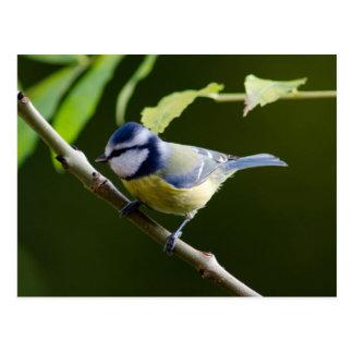 Blue Tit in autumn Postcard