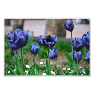 Blue Tulips Photo Print
