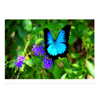 BLUE ULYSSES BUTTERFLY QUEENSLAND AUSTRALIA POSTCARD