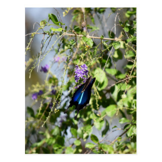 BLUE ULYSSES BUTTERFLY RURAL QUEENSLAND AUSTRALIA POSTCARD