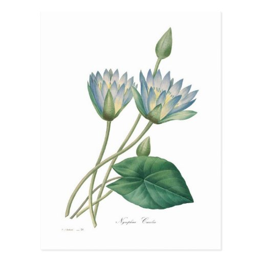 Blue Waterlily Post Card