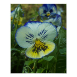 Blue & Yellow Pansy Poster