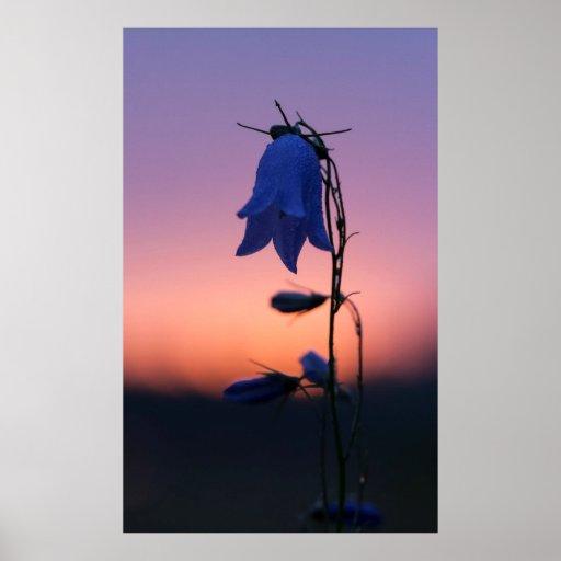 Bluebell flower at sunrise print
